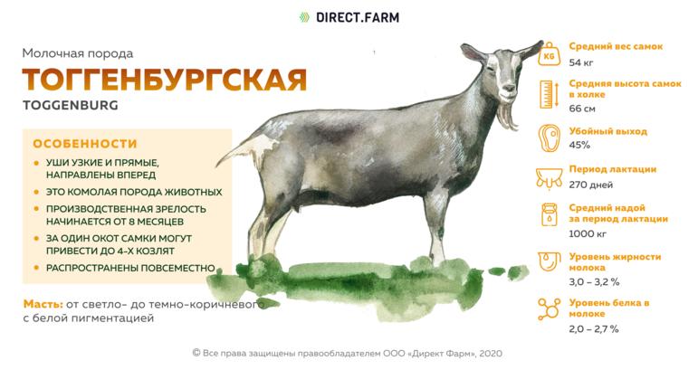 Тоггенбургская порода коз описание + фото
