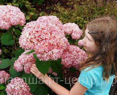 Гортензии в сибирском саду - дачный цветник