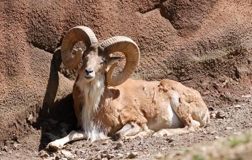 Горный баран алтая - задачи охраны и развития вида