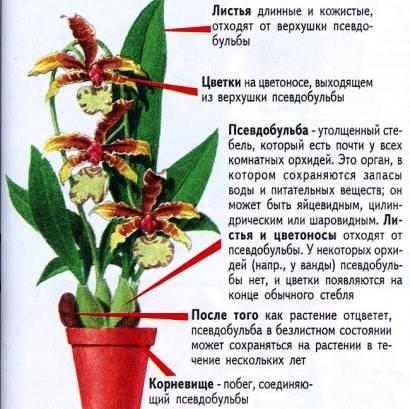 Камбрии - симподиальные орхидеи - домашние растения
