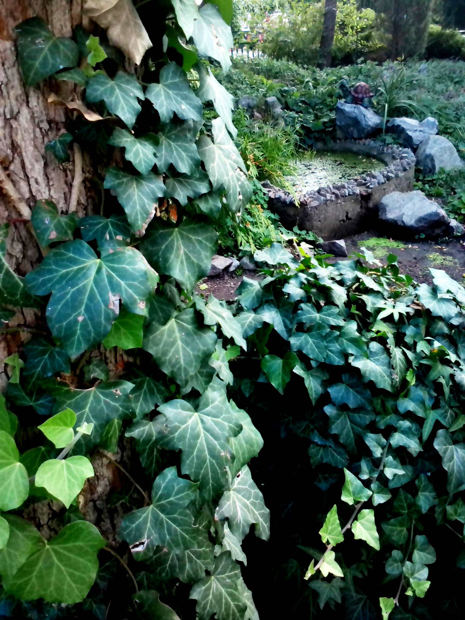 Плющ садовый посадка и уход в открытом грунте в саду на даче, на улице