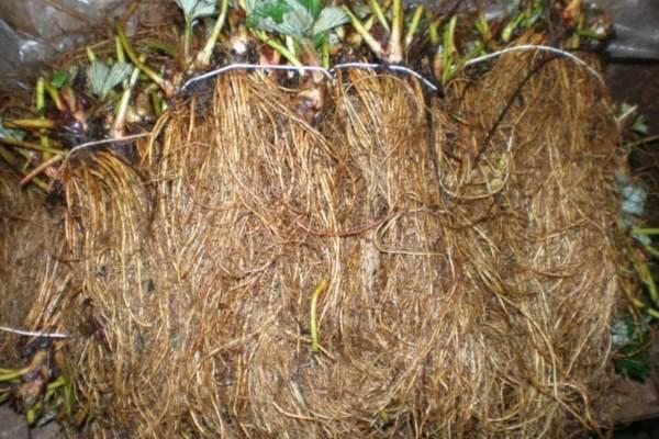 Технология выращивания клубники фриго. рассада фриго клубника фото
