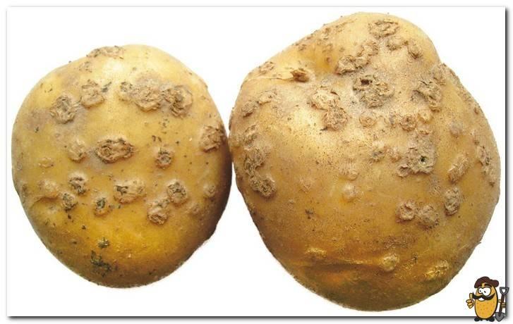 Виды парши картофеля и популярные средства борьбы с болезнью