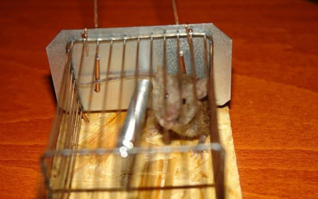 Мышке ― крышка! как вывести мышей из квартиры?