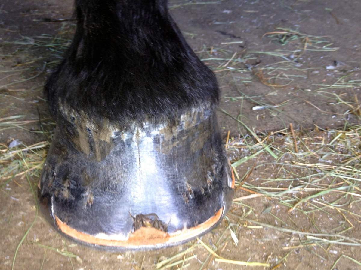 Зачем подковывают лошадей и как это сделать самостоятельно