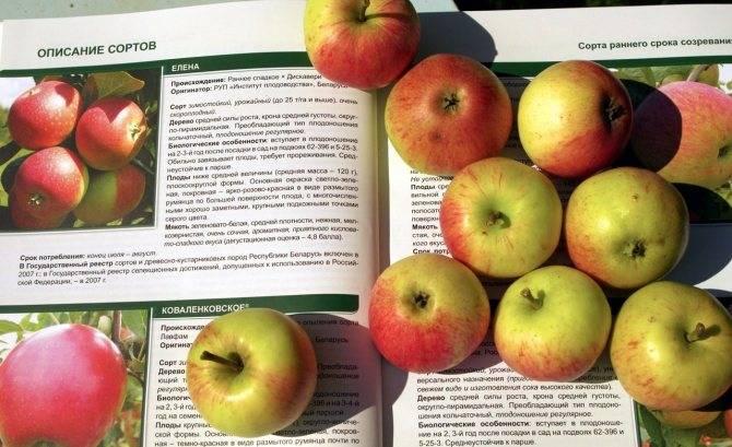 Описание яблони синап орловский, его характеристика и основные достоинства, урожайность и отзывы о выращивании