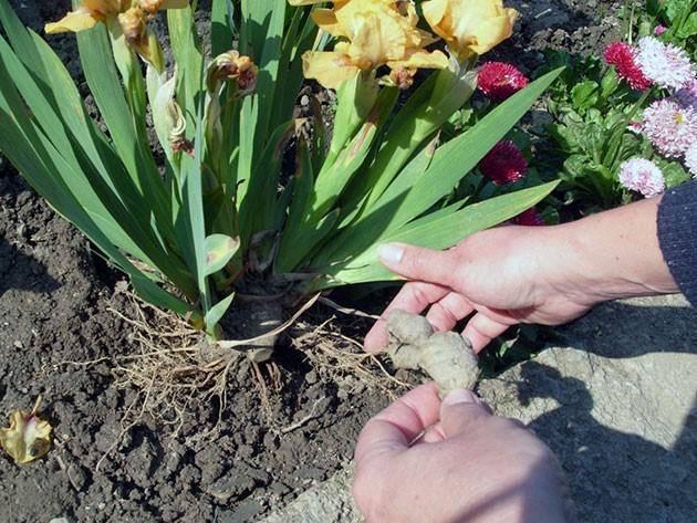 Лилейник - уход осенью, подготовка к зиме: обрезка, подкормка, укрытие на зиму