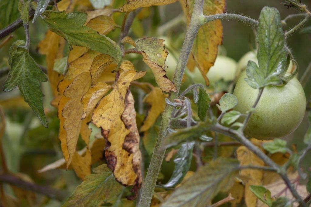 Почему у помидор сворачиваются листья в теплице?