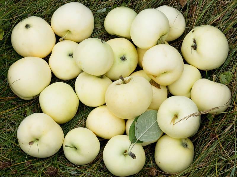 Яблоня папировка: посадка, фото и описание сорта, отзывы