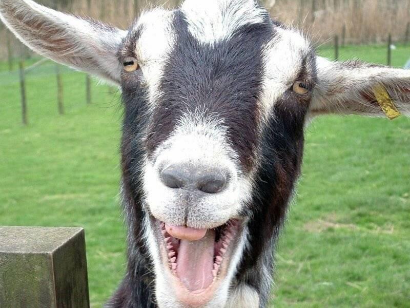 Обморочные козы – порода с необычным поведением 2021