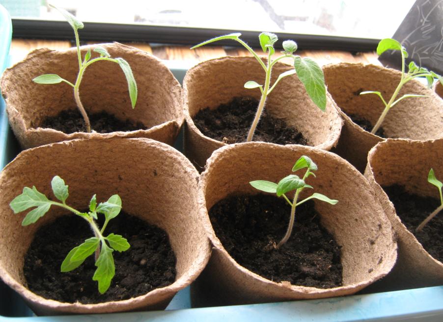 Высадка рассады помидор в открытый грунт: когда и как правильно сажать