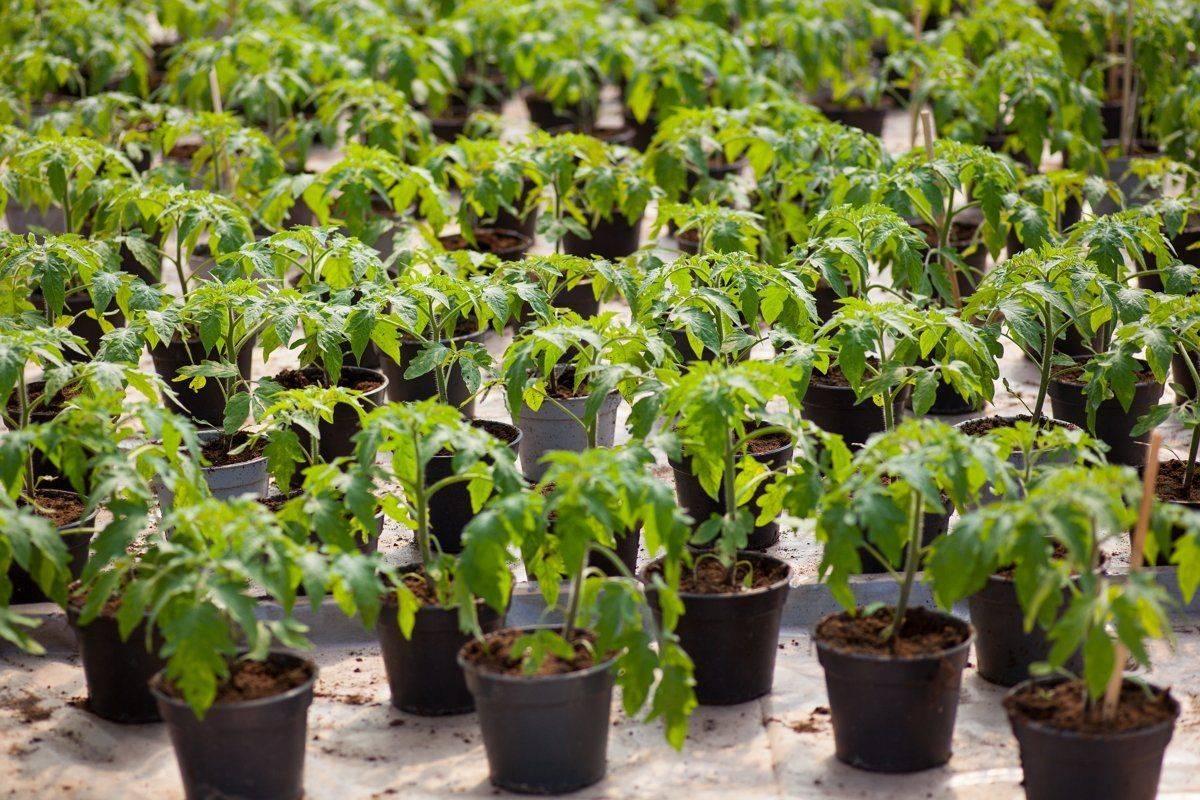 Когда сеять ранние помидоры на рассаду: сроки посадки