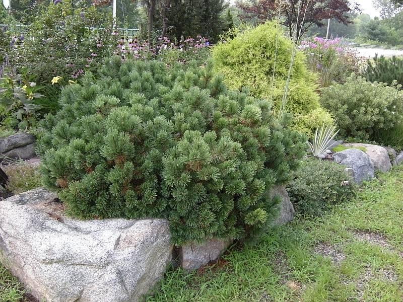 Горная сосна пумилио: особенности выращивания хвойника в саду