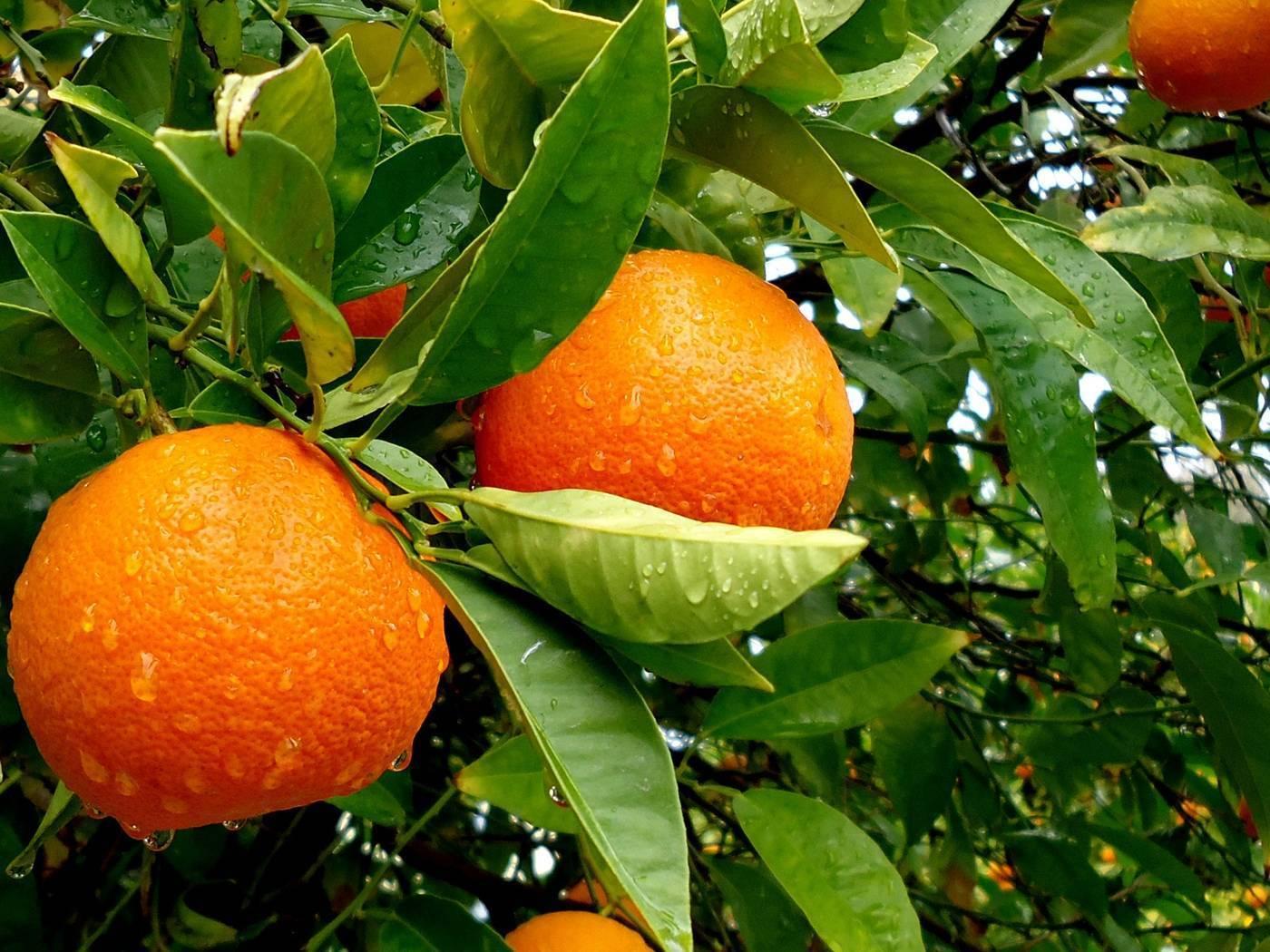 Чем полезен и вреден апельсин
