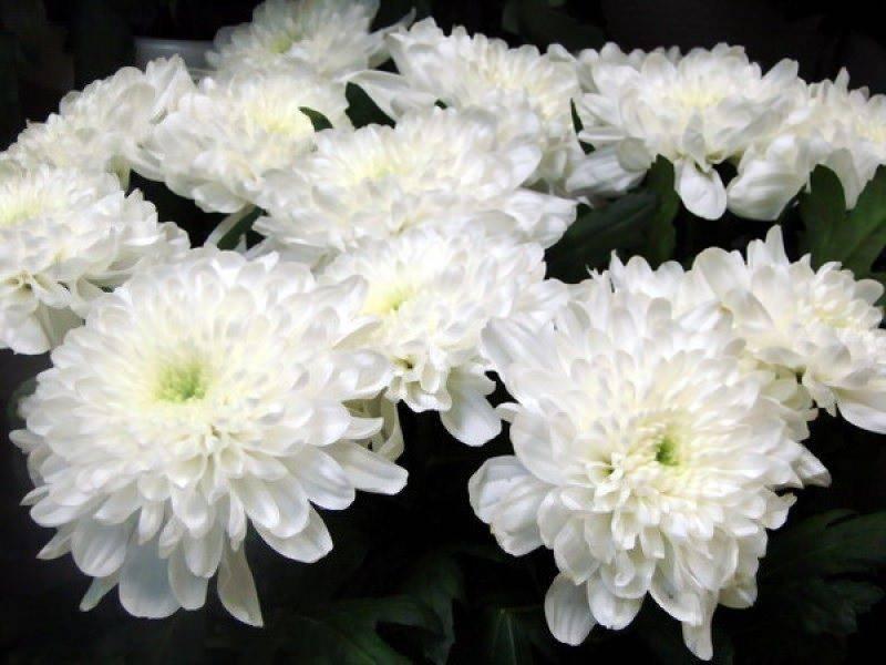 Как правильно укрыть хризантемы на зиму и подготовить к холодам