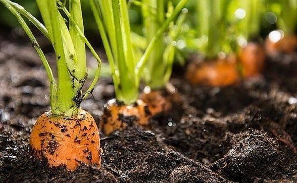 Уборка моркови по лунному календарю