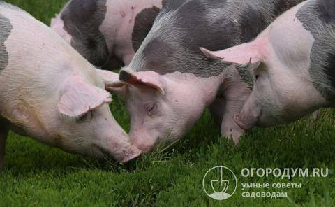 Выращивание свиней в домашних условиях: чем кормить на мясо, правила содержания для начинающих