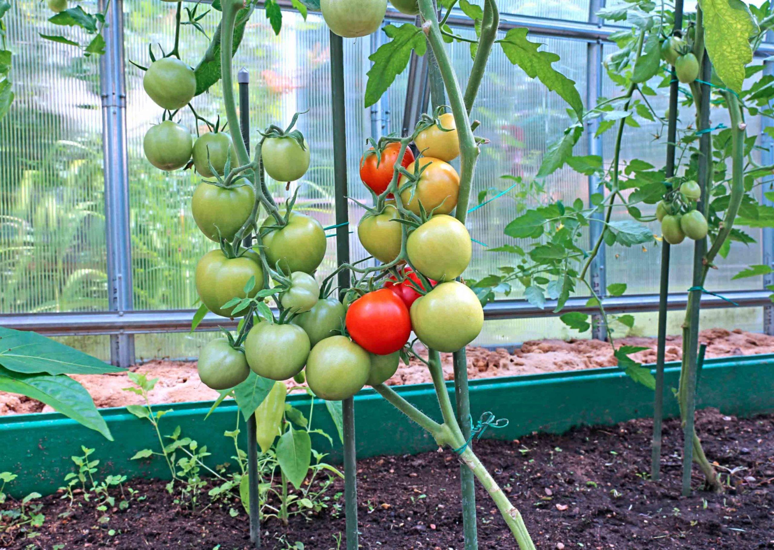 Как вырастить рассаду помидоров в теплице из поликарбоната или парнике: можно ли использовать неподготовленные семена томата и в какой срок их сеять? русский фермер