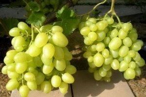 Виноград восторг: описание сорта, размножение, посадка и уход