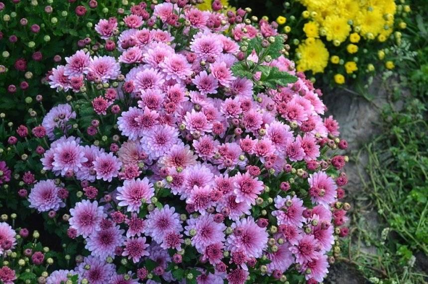 Как сохранить хризантемы зимой... мой опыт.: дневник пользователя natka