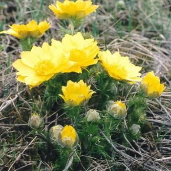Правила посадки и ухода за адонисами летними, выращивание цветов и сорта