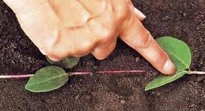 Как размножить яблоню: черенками, воздушными отводками, сломанной веткой