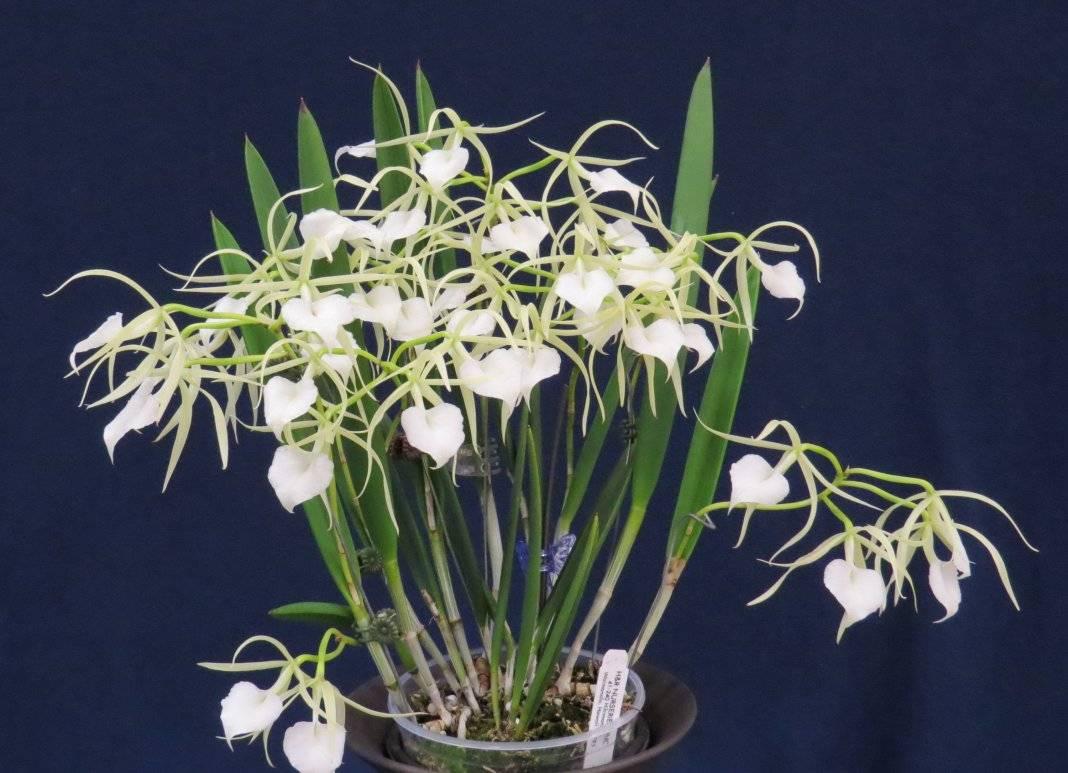 Орхидея брассия: описание и фото популярных разновидностей, уход в домашних условиях за растением-пауком, а также про пересадку, болезни и полив