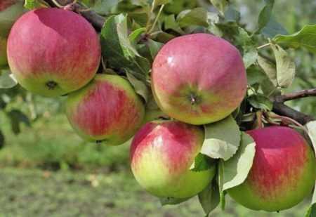 Колоновидная яблоня есения: описание сорта и характеристики, выращивание с фото