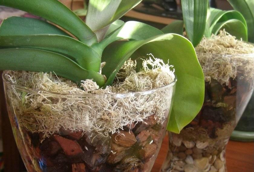 Можно ли выращивать орхидею в стекле в домашних условиях