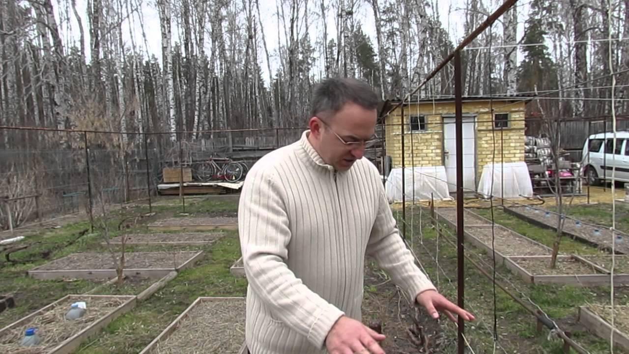 При каких температурах укрывают виноград на зиму. сроки укрывания винограда