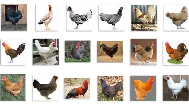 Выращивание кур бройлеров на мясо в домашних условиях как бизнес, особенности разведения selo.guru — интернет портал о сельском хозяйстве
