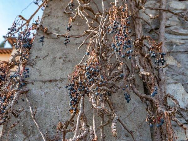 Виноград для подмосковья: обзор лучших сортов