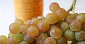 Сорт винограда мускат ранний