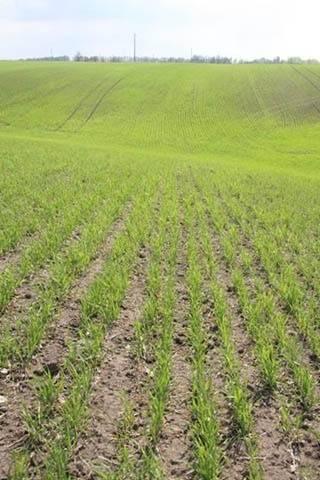 Технология возделывания пшеницы от подготовки к посеву до сбора урожая