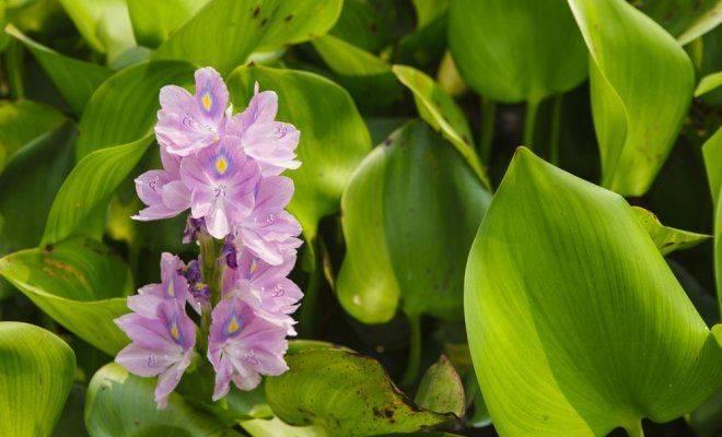Водяной гиацинт эйхорния: посадка, уход и выращивание в пруду и аквариуме с фото