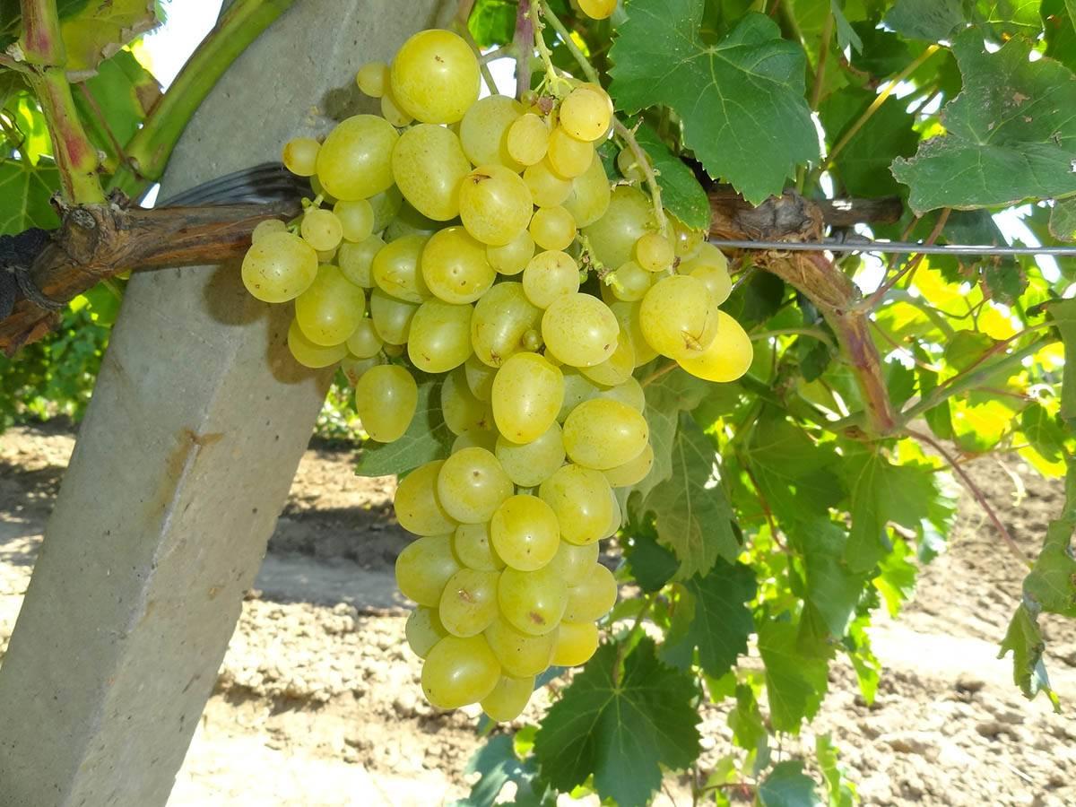 Сорт винограда ланселот — описание отзывы характеристики