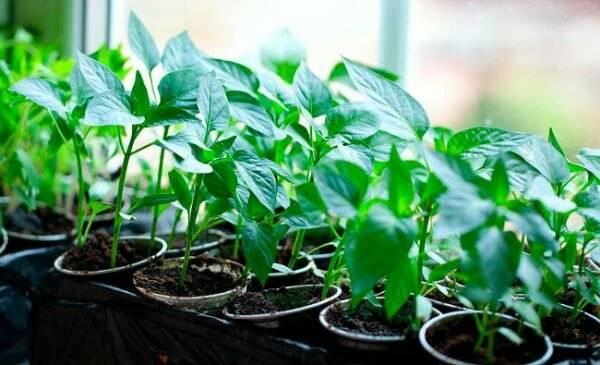 Подкормка рассады томатов и перца йодом | огородовед