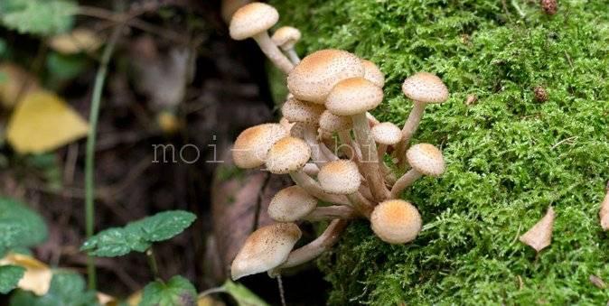 Опята - как выглядят, отличия от других грибов, как обработать и приготовить на ydoo.info