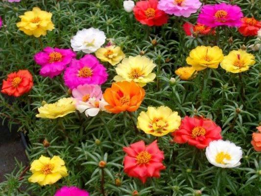 Портулак - фото, выращивание из семян, уход за рассадой в домашних условиях, посадка в открытый грунт