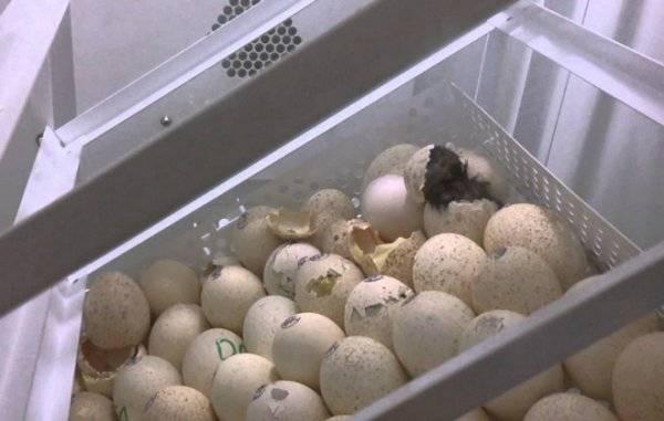 Овоскопирование яиц: что это такое и как правильно проводить
