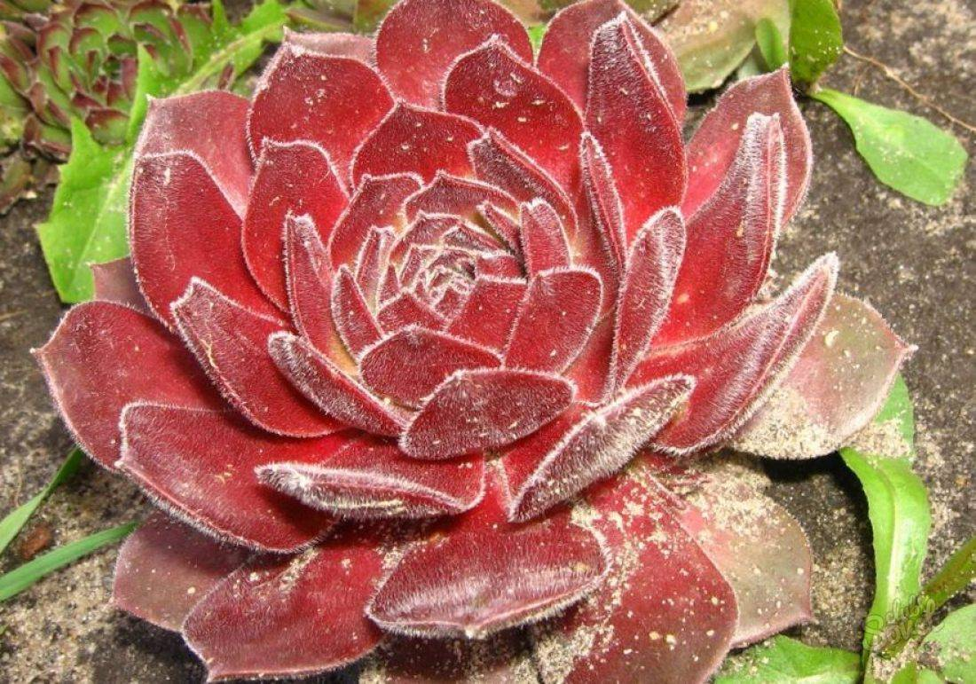 Каменная роза (молодило): описание, виды, уход | 100+ фото