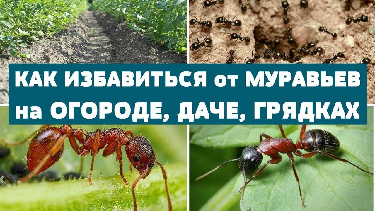 Как избавиться от муравьев в теплице: лучшие методы