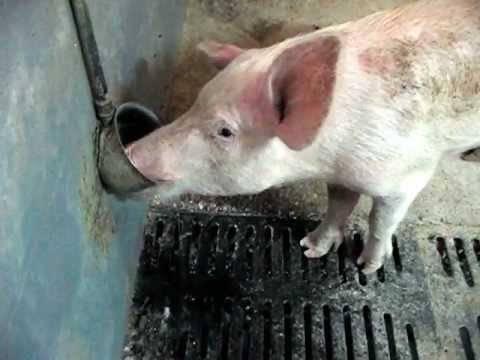 Кормушки и поилки для свиней своими руками, видео - ты-фермер