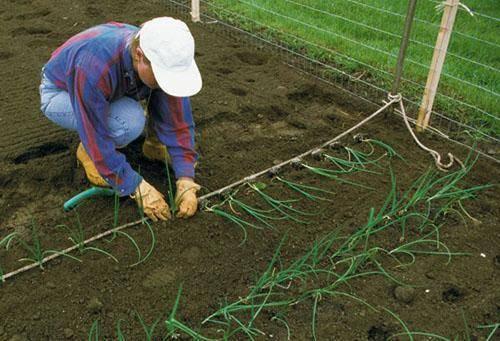 Тонкости выращивания лука эксибишен через рассаду в сибири. сроки посева и правила ухода