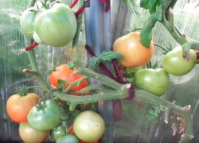 Томат метелица: характеристика и описание сорта помидоров, отзывы опытных фермеров, фото плодов