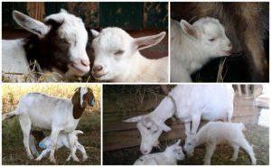 Почему коза стала давать мало молока – устраняем причины