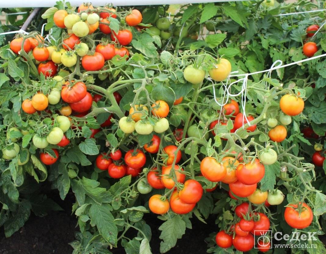 Томат непасынкующийся: отзывы, фото, урожайность | tomatland.ru