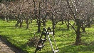 Инструкция по обрезке яблони осенью