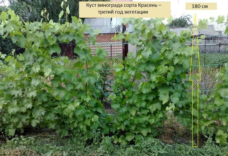 Как повысить урожайность винограда с куста, сотки, 1 га