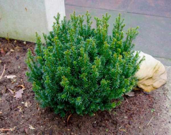Тис ягодный: описание растения, фото, посадка, уход, выращивание